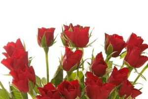 bunch of beautiful red roses isolated on white